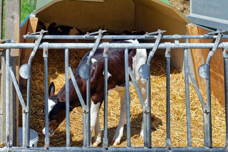 Calves housed separately on a dairy farm