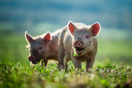 animales de granja: Cochinillos felices comen hierba Foto de archivo