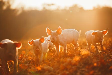 夕暮れ時の葉で遊んで幸せな豚