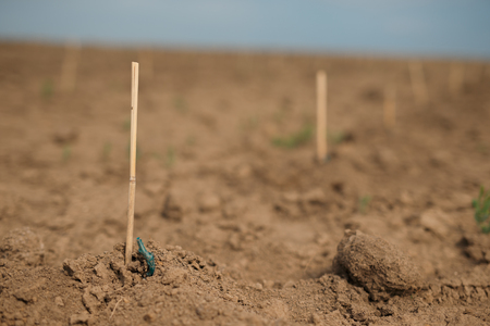 graft: Young grape seeding peeping out from the ground Stock Photo