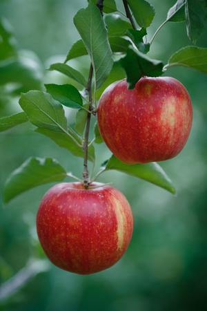 tiro vertical de primer plano de una rama con manzanas rojas frescas Foto de archivo