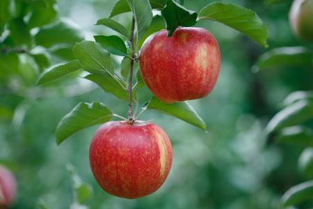 Close-up van een tak met verse rode appels Stockfoto