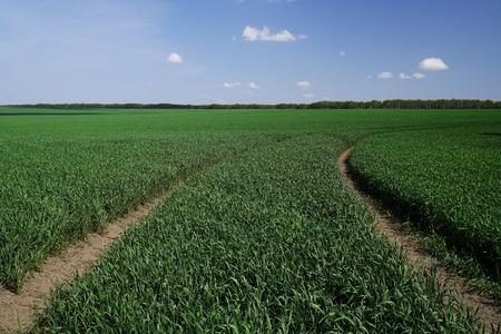Closeup shot of the young bright green corn field
