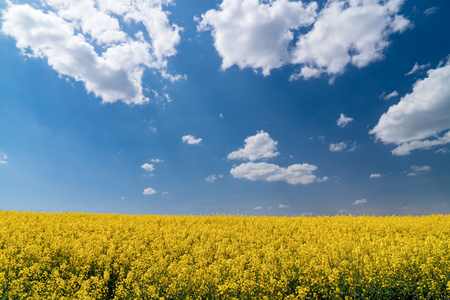 Colza field and blue sky