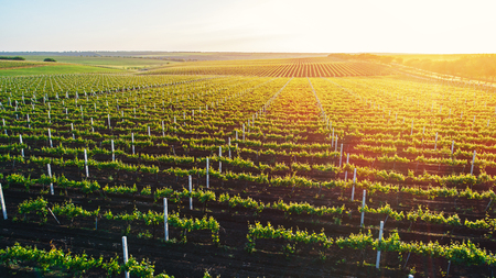 Aerial view  of a green summer vineyard at sunset 스톡 콘텐츠