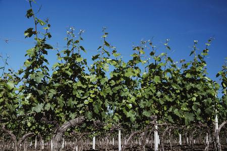 Closeup of a summer vineyard at daylight Stockfoto
