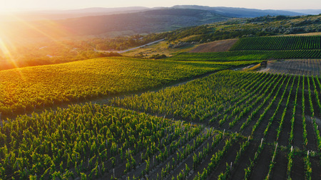 Aerial view  of a green summer vineyard at sunset Stockfoto