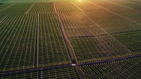 Aerial view  of a green summer vineyard at sunset Standard-Bild