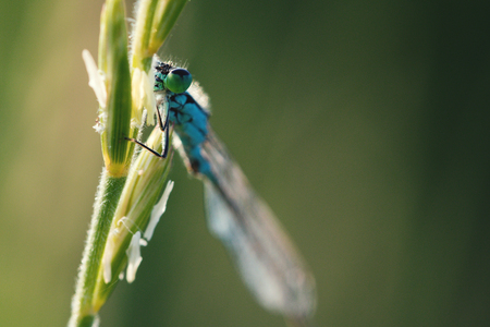 Macro shot of a bright blue dragonfly sitting on a green blade of grass