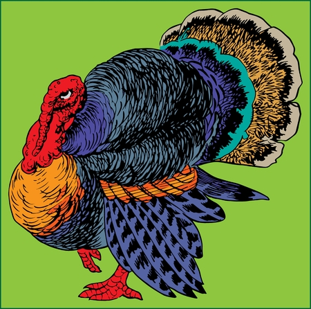 TURKEY BIRD large poultry with bright colored plumage