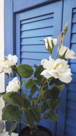 Bush of white roses on a background of blue wooden shutters