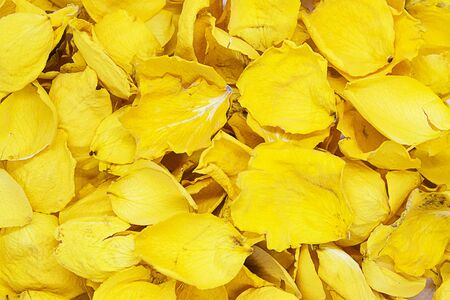 Dry petals of yellow roses. Yellow background 版權商用圖片