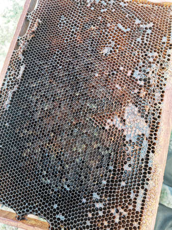 Newly pulled honey bee honeycomb beeswax on plastic foundation with pollen tracks. Imagens