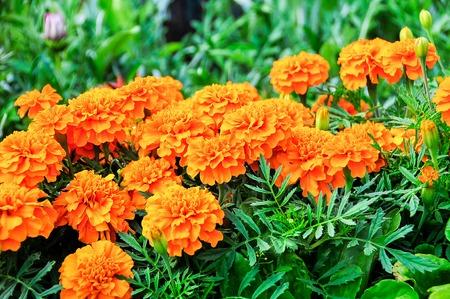 tagetes: Marigolds (Tagetes erecta, Mexican marigold, Aztec marigold, African marigold)