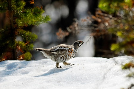 wood grouse is looking for food