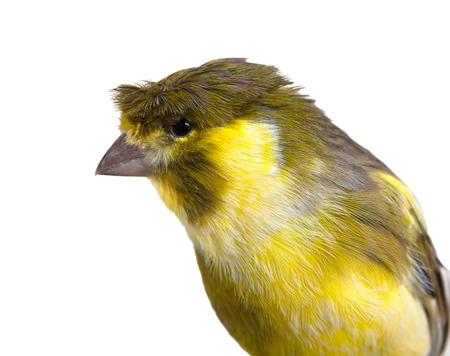 白の紋付きのかわいいカナリア鳥雄 写真素材