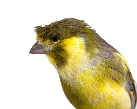 cute crested canary bird male  of white