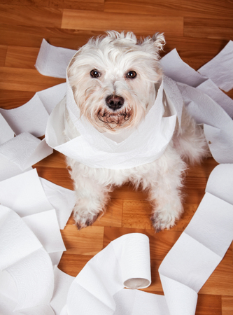 White fluffy schnauzer dog playing in a roll of toilet paper