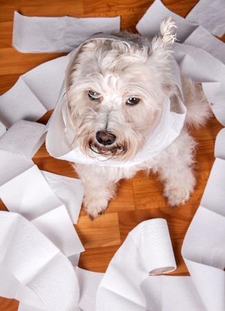 papel de baño: Perro blanco schnauzer traviesa jugando en un rollo de papel higiénico