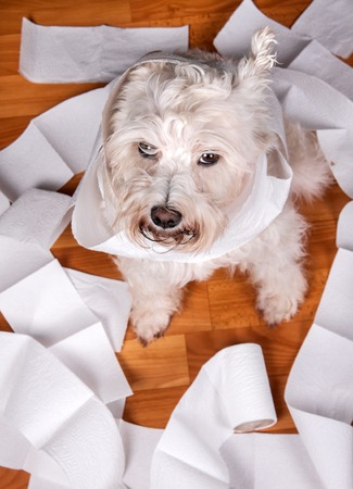 trashed: White naughty schnauzer dog playing in a roll of toilet paper Stock Photo