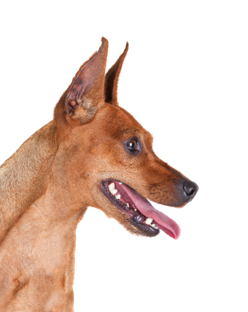 min: Red Miniature Pincher, zwergpinscher, min pin. Close-up portrait isolated on a white background Stock Photo