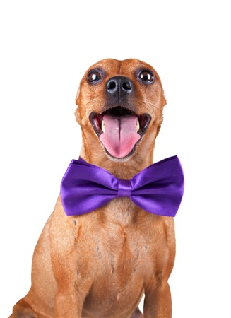 protruding eyes: Funny Red Miniature Pincher in magenta bow tie, zwergpinscher, min pin. Portrait isolated on a white background