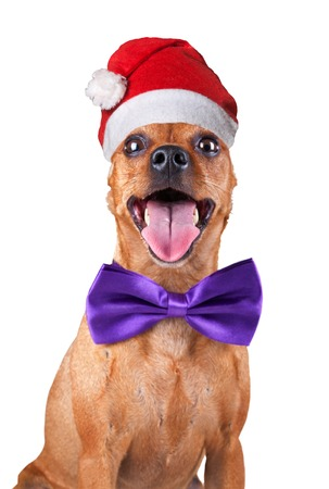 dwarfish: Funny Christmas Miniature Pincher in magenta bow tie and Santa hat, zwergpinscher, min pin. Portrait isolated on a white background