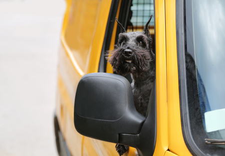 schnauzer dog looking out at the yellow car window. Dog transport, traveling.