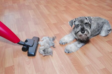 Vacuum cleaner, ball of wool hair of pet coat and schnauzer dog on the floor. Shedding of pet hair, cleaning.