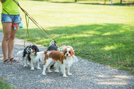 Woman walking a pack of small dogs Cavalier King Charles Spaniel in park. Professional dog walker service