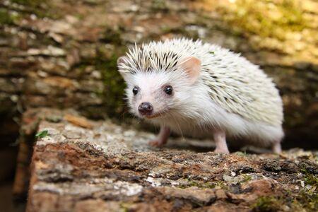 cute African pygmy hedgehog