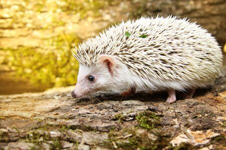 cute  African pygmy hedgehog Banque d'images - 129556043