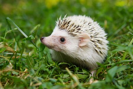 cute  African pygmy hedgehog 版權商用圖片
