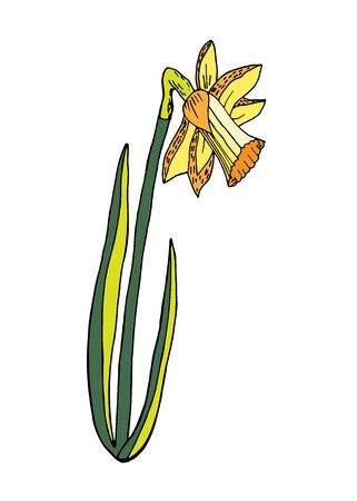 Doodle art yellow narcissus with green leaves, cartoon narcissus vector illustration hand drawn isolated on white background. Easter. Gardening.