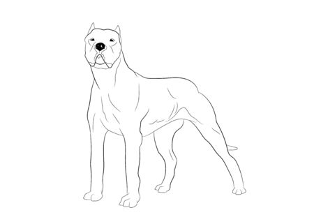 Dogo Argentino Cordoba hunting Dog. Vector outline stock illustration realistic lines silhouette.Design element for logo, print,tattoo, coloring book.