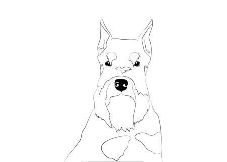 Schnauzer dog portrait, head. Black and silver , pepper and salt puppy on white background. Vector illustration. Dog breed. Logo, coloring book.