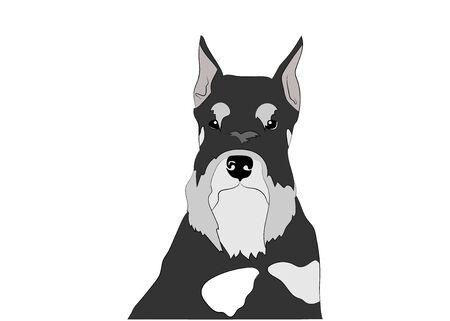 Schnauzer dog portrait, head. Black and silver , pepper and salt puppy. Vector illustration. Dog breed.
