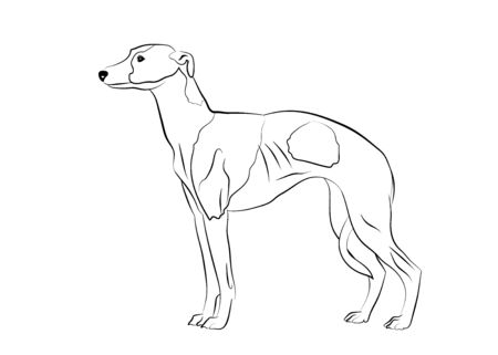 Whippet ,greyhound realistic silhouette outline on white background. Line art. Vector Illustration