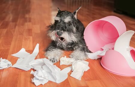 Naughty bad schnauzer puppy dog playing with papers from garbage basket.Dog lies among the torn paper.Mischief dog home. Imagens