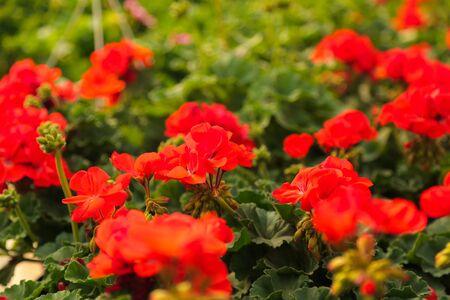 Gardening flower nursery, shop, greenhouse, geranium (Pelargonium sp.). Blooming flowers. Stock Photo
