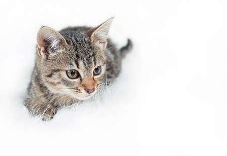 Cute little tabby kitten lying on fur white blanket Foto de archivo