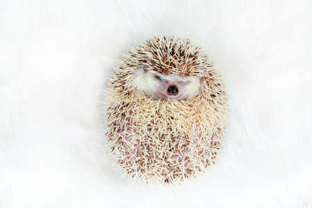 Cute funny african pygmy hedgehog look like a ball on white background.