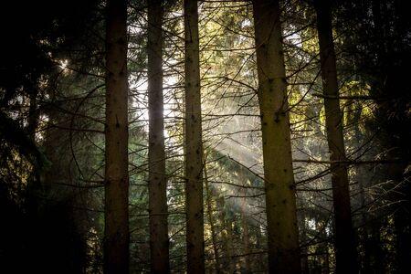 Forcus on sunbeams through a fir forest.