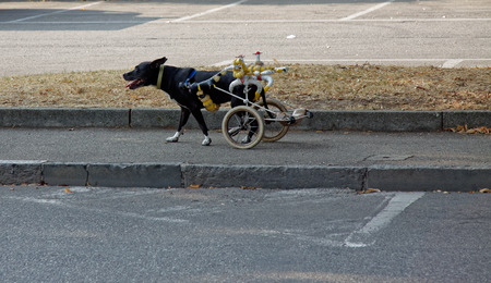 dog wheelchair: Black dog on wheelchair