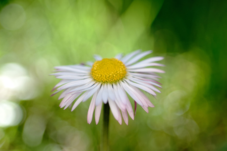 """plants species: Il mio DaisyEuropean perennisBellis Bellis perennis � una specie comune europeo di Daisy, della famiglia delle Asteraceae, spesso considerato la specie archetipo di piante che name.Many connessi anche parti il ??nome di """"Daisy"""", in modo da distinguere questa specie da Othe Archivio Fotografico"""