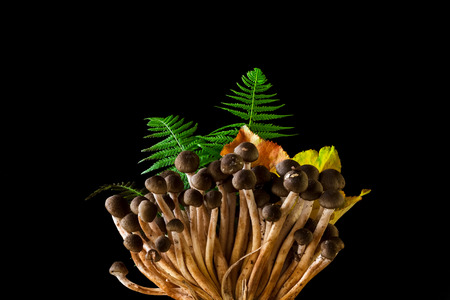 fungi: Bokeh honey fungus, Armillaria mellea in black background