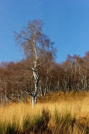 Betula pendula, in silver birch