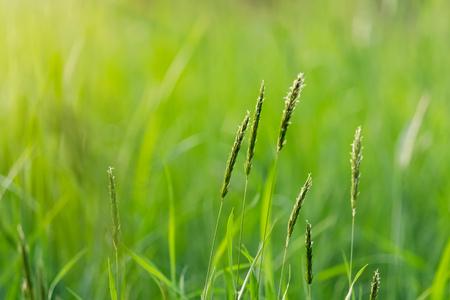 detail Field grass at sunset, selective focus