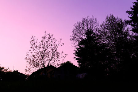 tree silhouette in the spring during a sunset pink