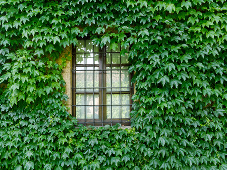Window of the house in the wall covered with ivy 版權商用圖片